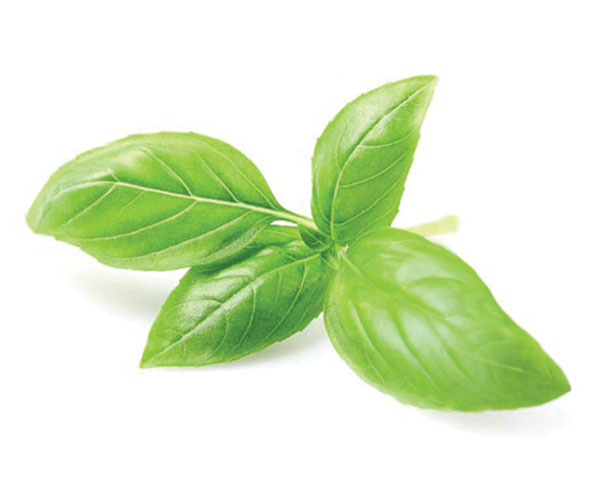Essential Basil Olive Oil